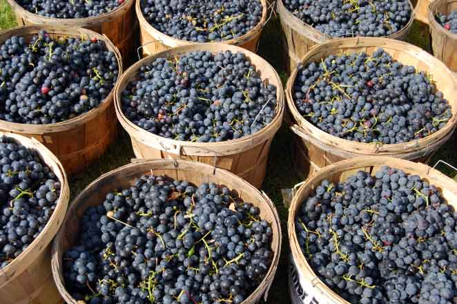 Red-grapes-Wachau-Valley-private-winet-tour